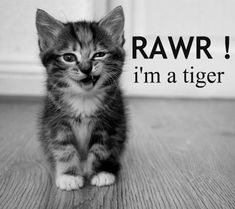 Chat tiger