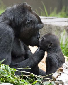 Hasani, the baby gorilla born at the San Francisco Zoo, with his surrogate mom, Bawang.