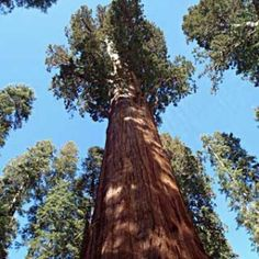The Giant Forest, Sequoia and Kings Canyon National Park, CA