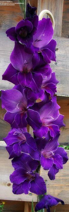 ~ Gladiolus ~
