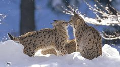 Eurasian Lynx (Lynx lynx) pair touching noses in snow, Bayerischer Wald National Park, Germany