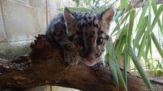 Clouded Leopard cub - Cotswold Wildlife Park