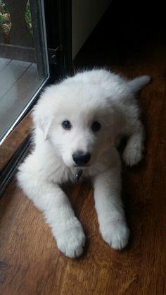 Our Maremma Sheepdog puppy