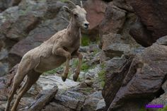 Anza-Borrego Bighorn Sheep