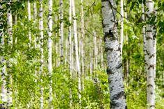 Suomalainen maisema - koivu metsä lehtipuu kesä kesämaisema maisema  valkoinen vihreä koivikko  kesäinen raikas koivumetsä lehtimetsä