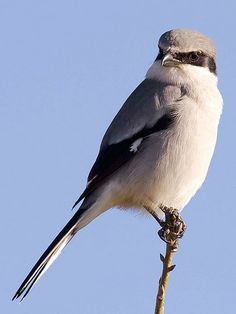 Loggerhead shrike  - At Cottonwood Canyon State Park in north Central Oregon