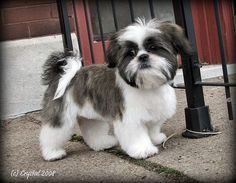 Shih Tzu Grooming Style Photos