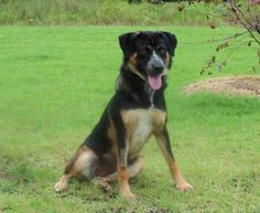 Tuesdays Tails: Heeler/German Shepherd Dog Needs a Home!  Cindy is a beautiful tricolor Heeler and German Shepherd Mix. She is spayed and is about 1 year and 6 months old. She is gorgeous! Take a look!