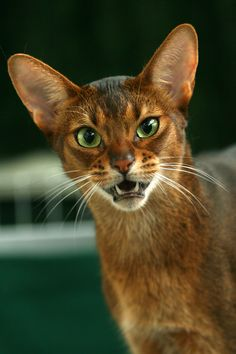 Abyssinian cat - doesn't look too happy!