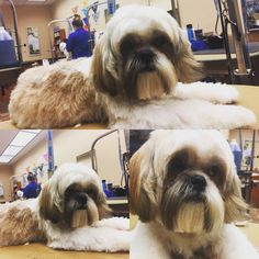 Teddy 10 month old puppy shitzu 1st grooming