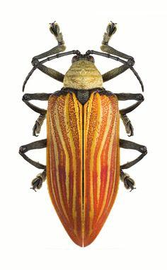 Alurnus costalis