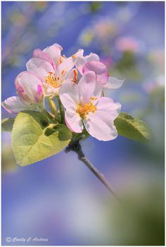 Apple blossoms -- Unmistakeable by CecilyAndreuArtwork Fresh Flowers, Spring Flowers, Beautiful Flowers, Apple Flowers, Japan Painting, Pink Garden, Spring Blossom, Flowers Nature, Trees To Plant