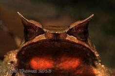 Megophrys nasuta (Malayan horned frog)