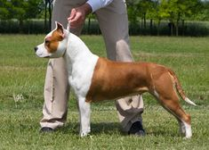 Staffy Bull Terrier, Terriers, Stafford Terrier, Dog Emoji, Dog Comics, All Breeds Of Dogs, Dog Suit, Pitt Bulls, Bully Dog