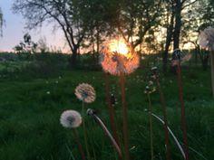 Dandelion, Art Photography, Birds, Flowers, Plants, Painting, Fine Art Photography, Dandelions, Painting Art