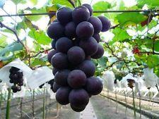 100Seeds Giant Kyoho Deep Purple Table Japanese Grape Rare Sweet Heirloom Fruit