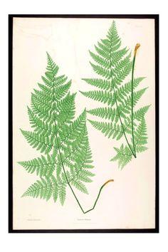 Botanical-Ferns-of-Great-Britain-1857-plate-22.jpg (2400×3600)