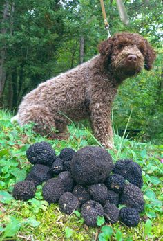 Celebrating the Harvest Season and Truffles, These dogs are trained to sniff out Truffles... big profit in the Truffle business. Hurray for the dogs! Love truffles.