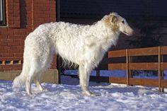 Conheça as raças borzoi e afghan hound