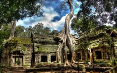 Temple d'Angkor Wat - Cambodge - Cet arbre est un immense ficus dont les racines se faufilent à travers les pierres.