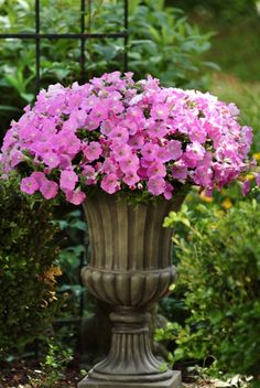 Think pink. This Shock Wave Pink Petunia has a classic shade of pink, slightly hot pink, and we are long it. We can already see this pink flower hanging on the town square! Container Flowers, Container Plants, Container Gardening, Garden Urns, Garden Planters, Garden Path, Garden Ideas, Beautiful Gardens, Beautiful Flowers
