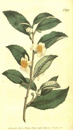 Hortus Camdenensis | Camellia sinensis (L.) Kuntze var. bohea