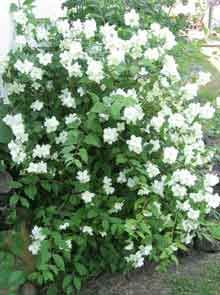 Fragrant shrub:  Sweet Mock Orange-Attracts Butterflies for nectar. Very fragrant.