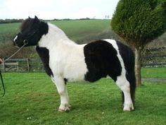 Finnister Pluto - Shetland Pony stallion