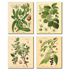 Free Shipping. Buy Popular Old-Fashioned Plant Botanical Prints; Four 8x10in Poster Prints at Walmart.com