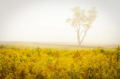 Dreams of Goldenrod and Fog Landscape Photograph Art Print