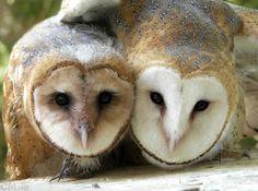 {Barn Owl Siblings}