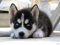 Image Search Results for husky