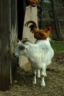 """""""Raising Chickens with Goats""""....we plan on having both!"""