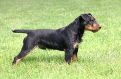The Jagdterrier is known for its black-and-tan coloration as well as its work ethic and hunting skills.