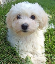 Bailey the Coton de Tulear, OMIGOSH, I CAN'T STAND THE CUTENESS!!!!!