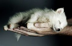 Funny pictures about Sleepy wolf. Oh, and cool pics about Sleepy wolf. Also, Sleepy wolf photos. Beautiful Creatures, Animals Beautiful, Sleeping Wolf, Sleeping Beauty, Sleeping Animals, Tier Wolf, Baby Animals, Cute Animals, Wild Animals