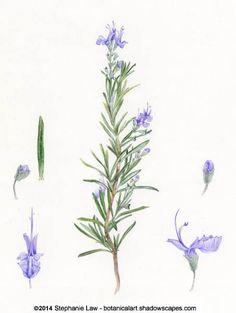 Rosemary botanical illustration. One of Ophelia's flowers.