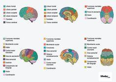 El cerebro humano es el órgano central del sistema nervioso, localizado en la cabeza del ser humano y protegido por el cráneo. Tiene la misma estructura general y anatomía que el cerebro de otros mamíferos, pero con un cortex cerebral…