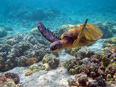 Sea turtles are so fun to swim with in Hawaii.