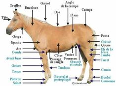 Part of the body of a pony and a horse for the … Partis du corps d un poney et d un cheval pour l - Art Of Equitation Horse Anatomy, Types Of Horses, Post Animal, Horse Grooming, Horse Breeds, Equestrian Style, Horseback Riding, Horse Riding, Body Parts