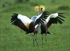 Żuraw, crane bird, żurawie