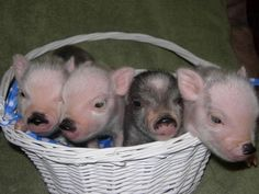 One day I will have a micro mini pot belly pig :)