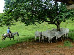 De vaqueiro a manejador de gado bovino Os melhores manejos são encontrados em fazendas lideradas por pessoas, que intuitivamente acham errado a forma rude de trato com os animais. Com isso, elas adaptam os manejos e atitudes para acalmar o gado e obter sua cooperação