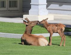"Pinner said ""Kisses for Mom. Elk in Yellowstone National Park."" I'm saying uh..... It has antlers. It must be dad..."