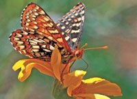 """California Checkerspot  """"The first summer after moving to Northern California, I was amazed at my backyard full of checkerspot butterflies. I captured this one fluttering about the wild daisies."""" -Jodi Schneider, Sisters, Oregon"""