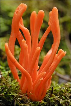 Week 1 - Natural Forms Orange Coral Fungi in Rainforest ~ By Grant Dixon