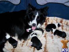 Border collie +pups