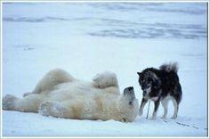 eran grandes cazadores de osos polares y otros mamíferos  árticos