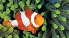 clownfish wallpaper animals