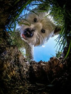 dog obedience training tips Westies, Westie Puppies, Cute Puppies, Dogs And Puppies, Chihuahua Dogs, Pet Dogs, West Highland Terrier, Highlands Terrier, Beautiful Dogs